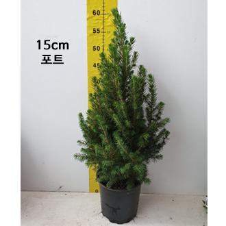 구상나무_0002_15cm 포트.jpg