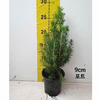 구상나무_0003_9cm 포트.jpg