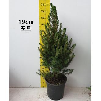 구상나무_0001_19cm 포트.jpg