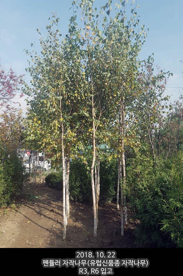 팬듈러자작나무 R3,6.jpg