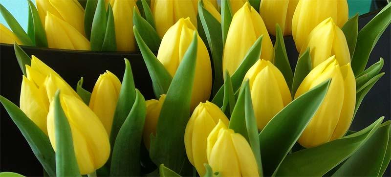 tulipsyellow2.jpg